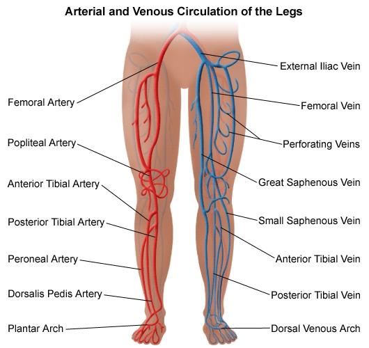 Back Leg Vein Leg Diagram - Circuit Connection Diagram •