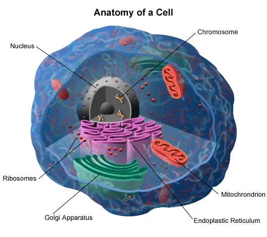 Genes Understanding Genetics Stanford Health Care